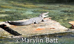 Salt Water Crocodile on a slab of sunk concrete left over... by Marylin Batt