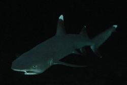 White Tip Reef Shark, Night Dive, Black Rock, Maui HI by David Espinoza