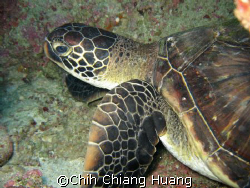 sea turtle on the GreenLand in Taiwan by CANON 800 IS by Chih Chiang Huang