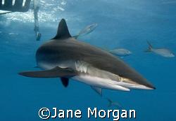 Silky shark under the boat in Cuba. Nikon D80 by Jane Morgan