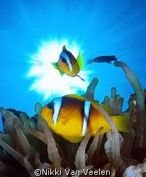 Red Sea anemonefish and sunburst taken at campsite 3, Mar... by Nikki Van Veelen