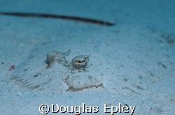 flounder taken at tuluk maya, wakatobi, d70 by Douglas Epley