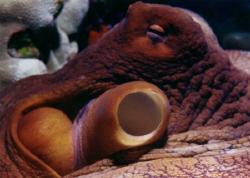 Octopus Close-up, Aquatica, Nikon N90, 60mm Micro lens, M... by David Espinoza