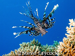 lion fish, Red Sea,  This new species / sub species appea... by Steve Laycock