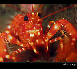 From El Hierro in the Canaries, a Red Reef Lobster (Enopl... by Brian Mayes