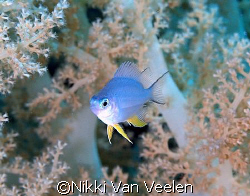 Tiny damselfish taken at Marsa Bareika with E300 and 50mm... by Nikki Van Veelen