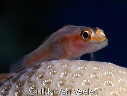 Tiny goby taken at Sharksbay with E300 and 50mm lens. by Nikki Van Veelen