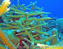 Staghorn coral by Ricardo Guzman