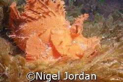 Rhinopius on the wreck Tug II out from Flic en Flac on th... by Nigel Jordan