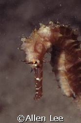 Thonry Seahorse. by Allen Lee