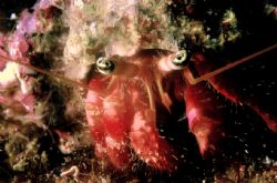 Paguro (Dardanus arrosor) in Mediterraneo  Lampedusa (Sic... by Mauro Serafini