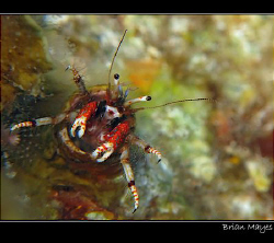 Hermit crab in Tube Worm hole, pretends he is riding a bi... by Brian Mayes