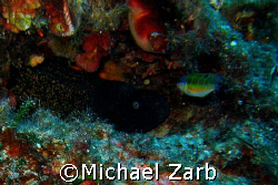 A large moray eal on wall off the Cirkewwa point. Only in... by Michael Zarb