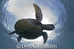Turtle. Lowe islands. D200, 10.5mm. by Derek Haslam