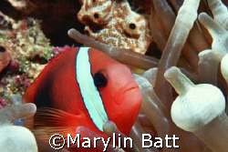 Nemo, close up and personal.  Nikonos V 1:2 macro extensi... by Marylin Batt