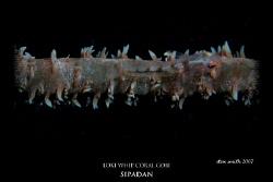 whip coral gobi, sipadan by Stewart Smith
