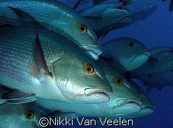 Snappers posing at Shark reef, taken yesterday with Olymp... by Nikki Van Veelen