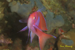 Basslet at Anilao with my Canon EOS 350D by Taco Cheung