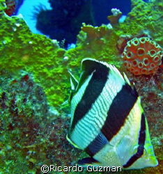Banded Butterfly at the WIT Shoal II. by Ricardo Guzman
