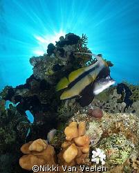 Red sea bannerfish and sunburst taken at Campsite 3, Ras ... by Nikki Van Veelen