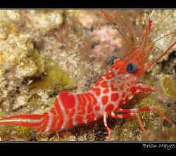 Atlantic Dancing Shrimp (Cinetorhynchus rigens) from El H... by Brian Mayes