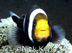 Agro anemone fish decided that it was NOT ready for its c... by Nick Kuhn