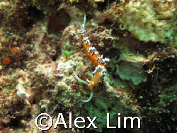 Flabellina taken with Canon G7 and Inon strobe by Alex Lim