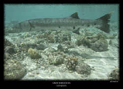 i stumbled across this great barracuda whilst on a surfac... by Stewart Smith