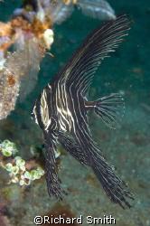 Juvenile Batavia Batfish.  Not as striking as the juvenil... by Richard Smith