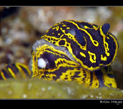 According to Bill Rudman on SeaSlugForum, this little guy... by Brian Mayes