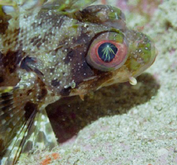 Lightning eye, turkey fish, Maui HI by David Espinoza