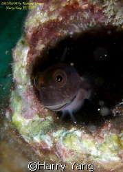 blenny.. by Harry Yang