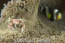 House mates.  A porcelain crab and anemonefish shack up. by Richard Smith