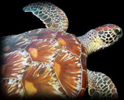 Turtle in Cave - Saipan by M. Dalsaso