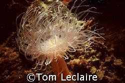 Tube dwelling anenome by Tom Leclaire