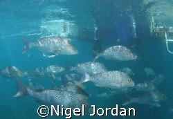 Friendly snapper at Coral Bay Western Australia by Nigel Jordan