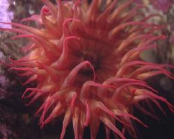 Rose Anemone, Monterey, CA by David Espinoza