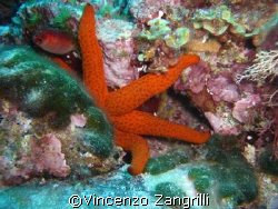 Shy Marine Star taken in Sardinia. Depth ca.32 M by Vincenzo Zangrilli