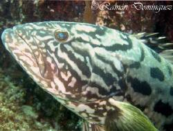 Face of a Gulf grouper, Mycteroperca jordani. Sea of Cort... by Ramón Domínguez
