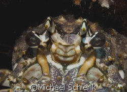 The Horns of Hell...Caribbean Lobster in South Florida, t... by Michael Schlenk