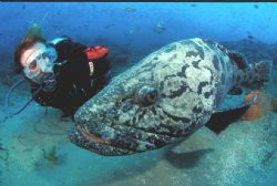 Nuisance the potatoe bass/grouper eyeing himself in the d... by Andrew Woodburn