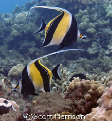 Pair of Moorish Idols.  Taken in Maui, Hawaii.  Nikon D100 by Scott Harrison