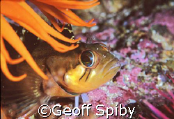 clinid in False Bay, Cape Town by Geoff Spiby