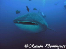 Whale shark at Roca Partida, Revillagigedo islands. by Ramón Domínguez
