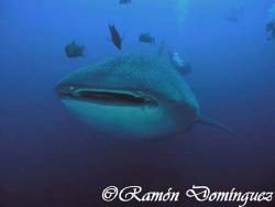 Whale shark at Roca Partida, Revillagigedo islands. by Ramón Domínguez
