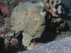 frog Fish, Lanai, HI by David Espinoza