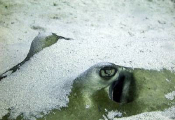 Southern Stingray Up Close by Blair Hughes