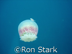 Jellyfish and it's friend.   by Ron Stark