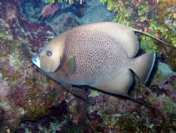 Gray Angelfish at 35 feet in Roatan. Taken with housed Ca... by Drew Fleeter
