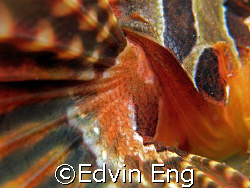Beautiful & Dangerous Wing! Taken In Anilao with Canon G7. by Edvin Eng